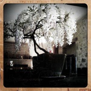 glycine en bonsaï