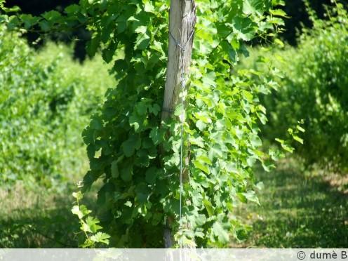 feuilles-de-cabernet